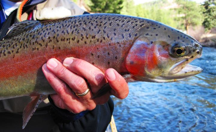 Denver fly fishing information - fishing trips
